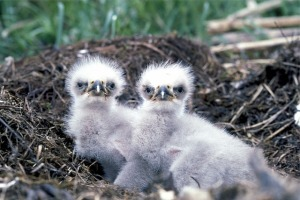 baby-eagles-527426_640