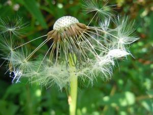 dandelion-350580_640