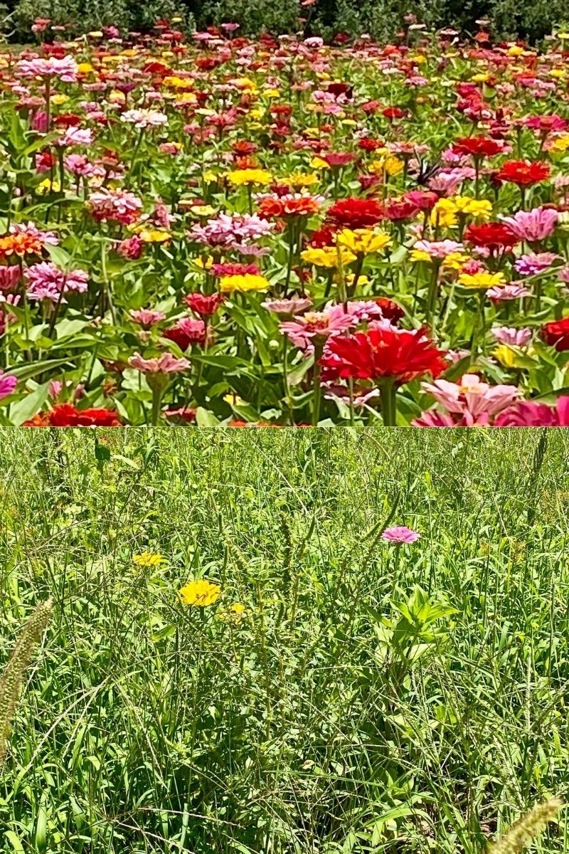 The Zinnia Fields